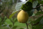 image of The quince