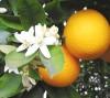 image of Bitter orange trees of bad reputation