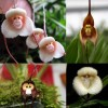 The art of monkey orchids