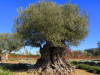 image of Save the centenary olive trees from pillaging