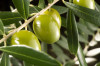 The olive tree, light of the Mediterranean