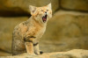 image of Arabian sand cat spotted after 10 years' disappearance